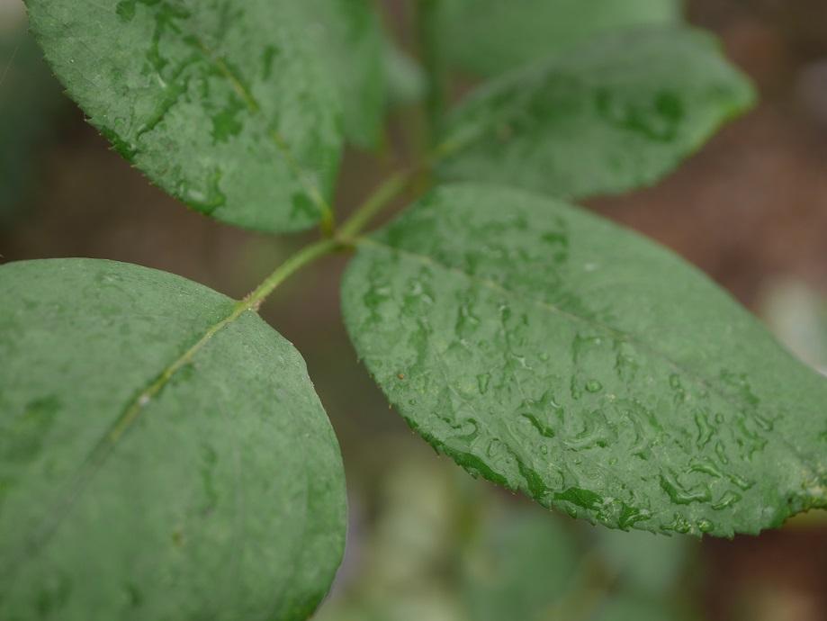 ブルー・ムーンの葉