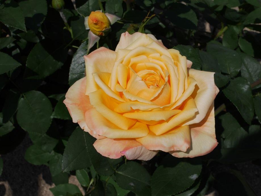 福山で誕生した黄色のバラ「プリンセスふくやま」の8分咲きの花姿。