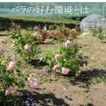 バラが好む4つの基本環境とは?栽培入門者の最初の一歩