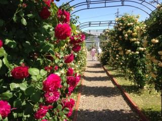 「デビットーオースチン・ローゼズ」園内(大阪市泉南市)で咲き誇るバラ。