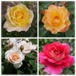 平和の願いが込められたバラ