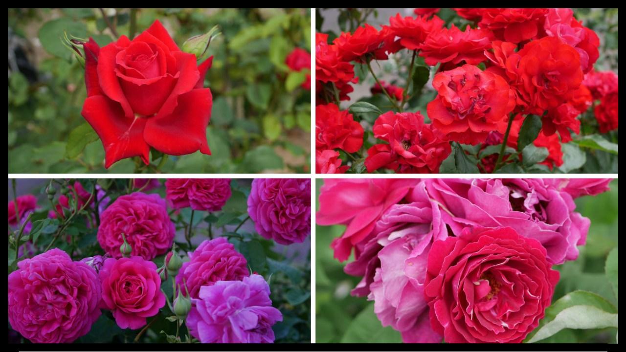 当サイトのコンテンツ「おススメの赤バラ 200種類以上から選んだお勧め品種」用のアイキャッチ。