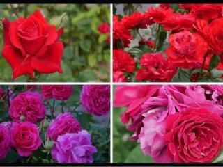 当サイトのコンテンツ「おススメの赤バラ|200種類以上から選んだお勧め品種」用のアイキャッチ。