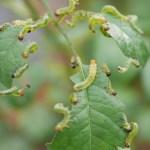 チュウレンジハバチ|葉っぱが消えてなくなった?親子2世代によるダブル被害