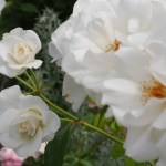フロリバンダってなに? 枝先がブーケのように咲くバラの楽しみ方