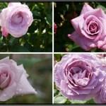 冷静と情熱が混じる神秘の花色。紫のバラの紹介|50種類以上から選んだお勧め品種