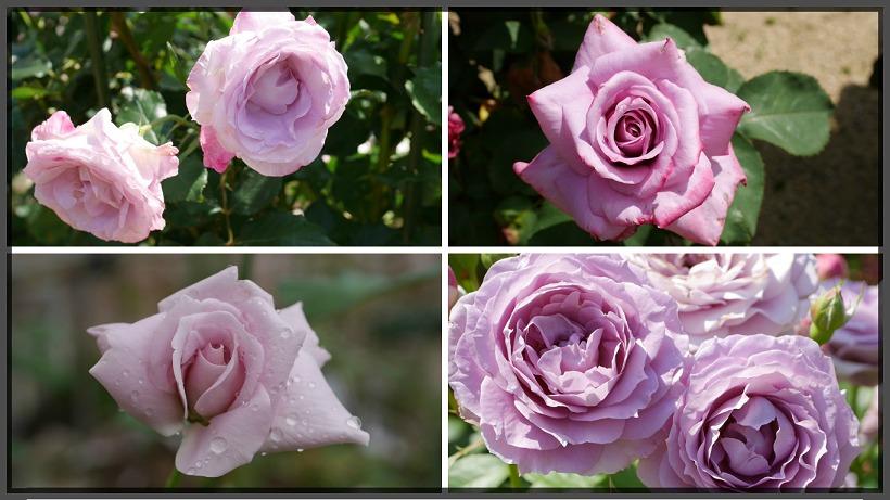 当サイトのコンテンツ「冷静と情熱が混じる神秘の花色。紫のバラの紹介|50種類以上から選んだお勧め品種」用のアイキャッチ