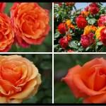 絆の花。オレンジのバラの紹介|100種類以上から選んだお勧め品種