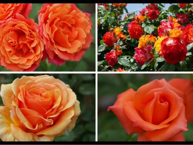 当サイトのコンテンツ「絆の花。オレンジのバラの紹介|100種類以上から選んだお勧め品種」のアイキャッチ画像