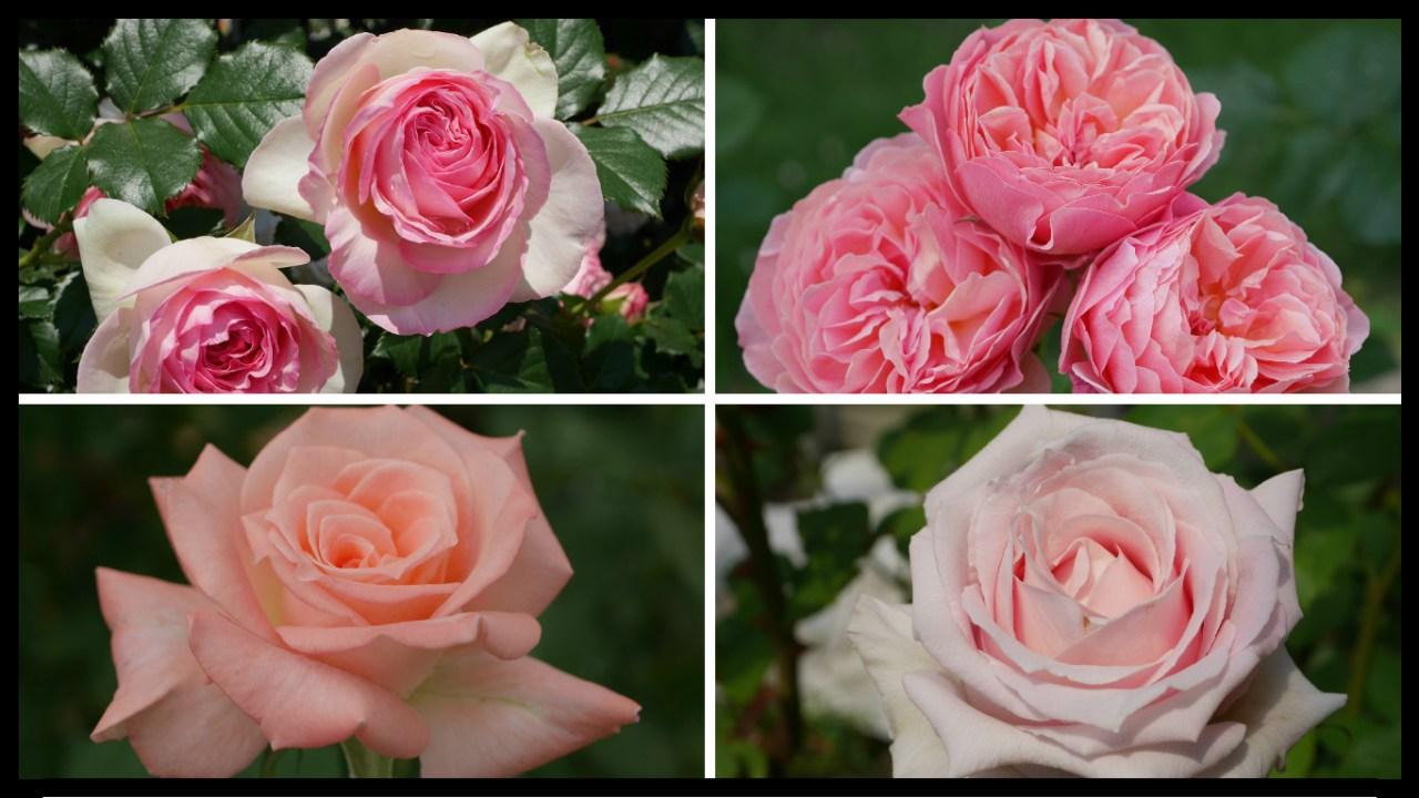 当サイトのコンテンツ「美と幸せの花色。ピンクのバラの紹介 400種類以上から選んだお勧め品種」用のアイキャッチ。