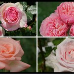 美と幸せの花色。ピンクのバラの紹介|400種類以上から選んだお勧め品種