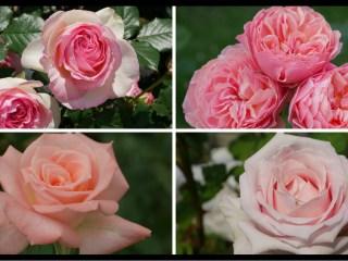 当サイトのコンテンツ「美と幸せの花色。ピンクのバラの紹介|400種類以上から選んだお勧め品種」用のアイキャッチ。