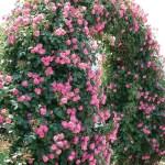 誰でも育てられるファーストローズに最適なバラ[アンジェラ]の栽培実感