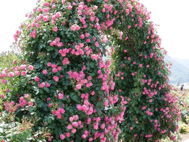 バラ「アンジェラ」(フロリパンダ)がアーチ状に咲きほこる写真。