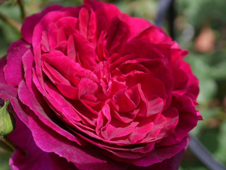 イングリッシュローズ「ムンステッド・ウッド」の花の中心部を拡大して撮影した。