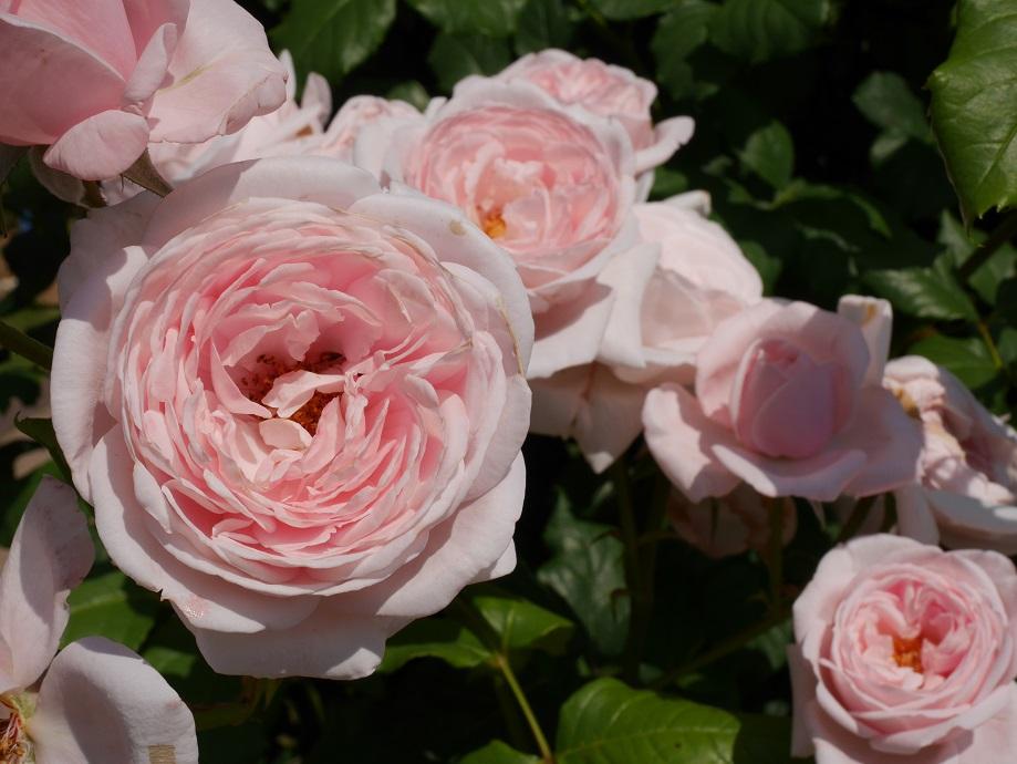 画面いっぱいに咲きほこるパールピンクのバラ「ナエマ」の美しい花姿。[撮影者:花田昇崇]