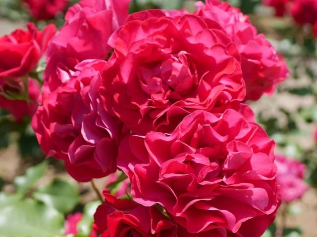 眩しく輝くブリリアントレッドのバラ「スーリール・ドゥ・モナリザ」が咲き誇る写真。[撮影:花田昇崇]