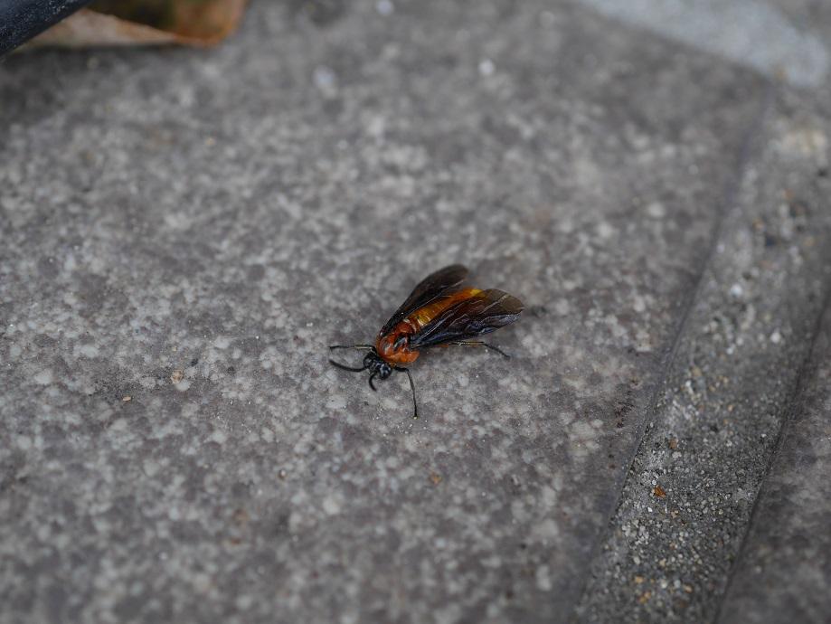 バラの害虫チュウレンジハバチを1匹、拡大して撮影した写真。