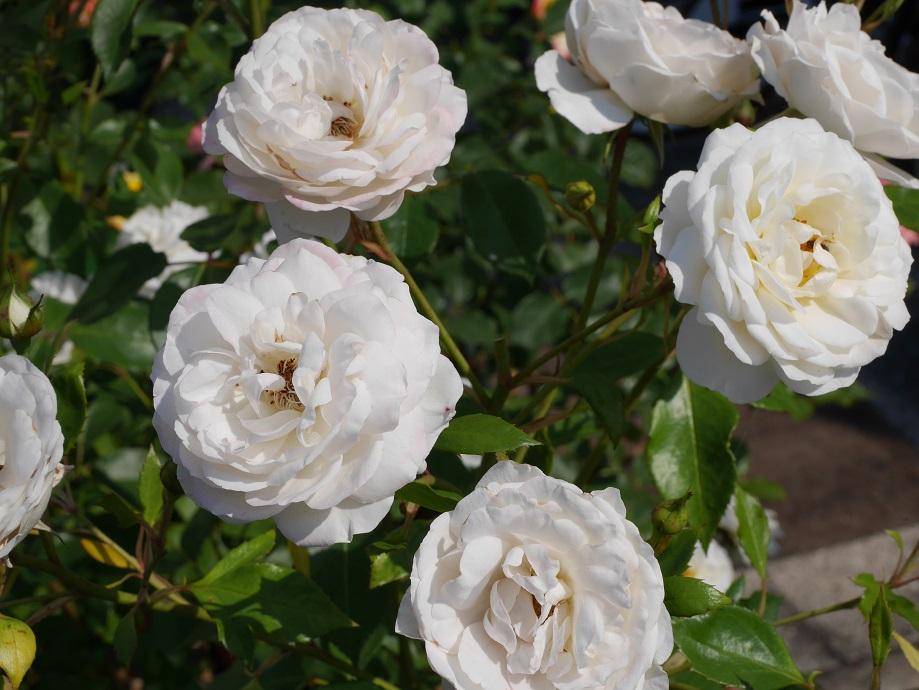 4輪咲いている丸弁平咲きの白バラ「ファビュラス!」の花姿。