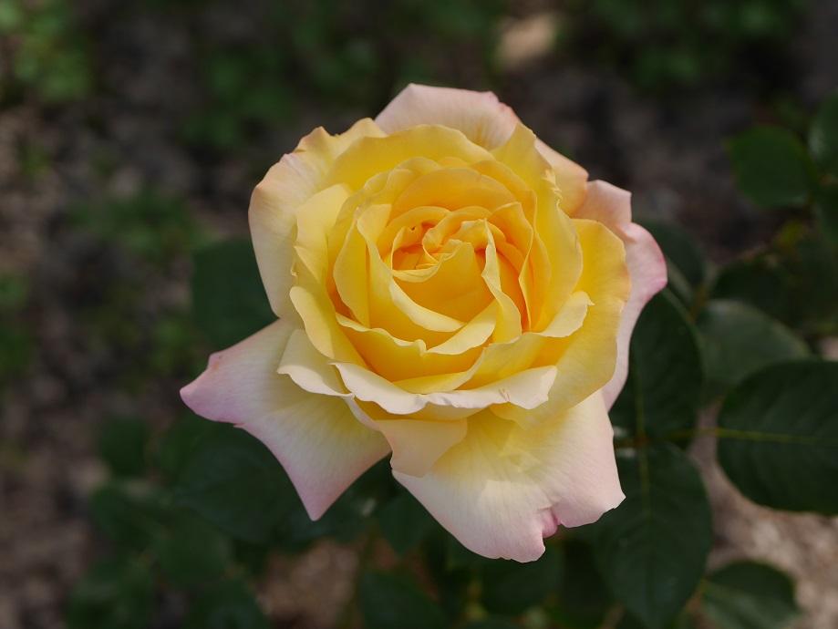 中心部の黄色と縁の薄いピンク色との対比が美しいバラ「ピース」の花姿。[撮影者:花田昇崇]