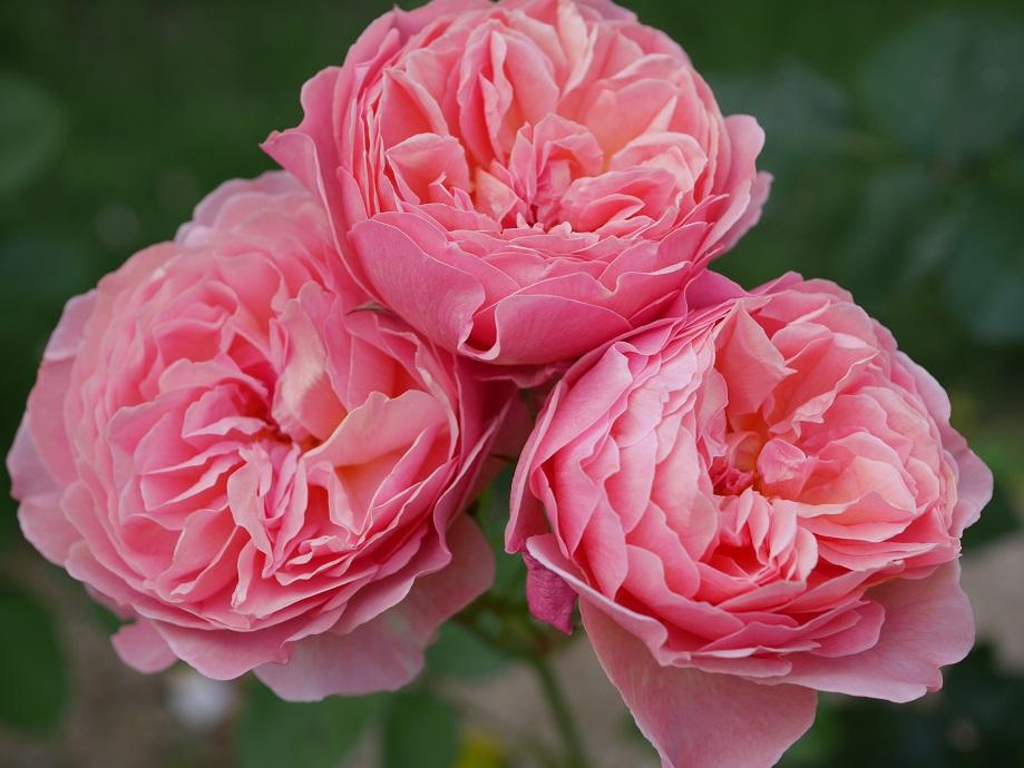 アプリコットとピンクが混じったような色味のロゼット咲きのバラ「かおりかざり」の花姿。画面いっぱいに3輪咲く。[撮影者:花田昇崇]