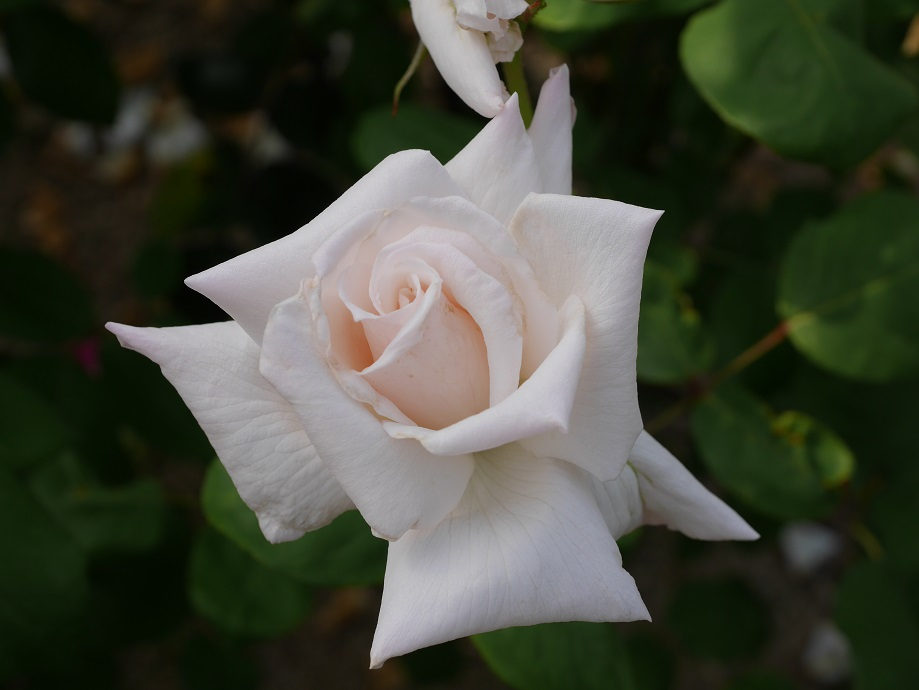 1輪咲いている白バラ「マダム・ジュール・ブーシェ」の花姿。