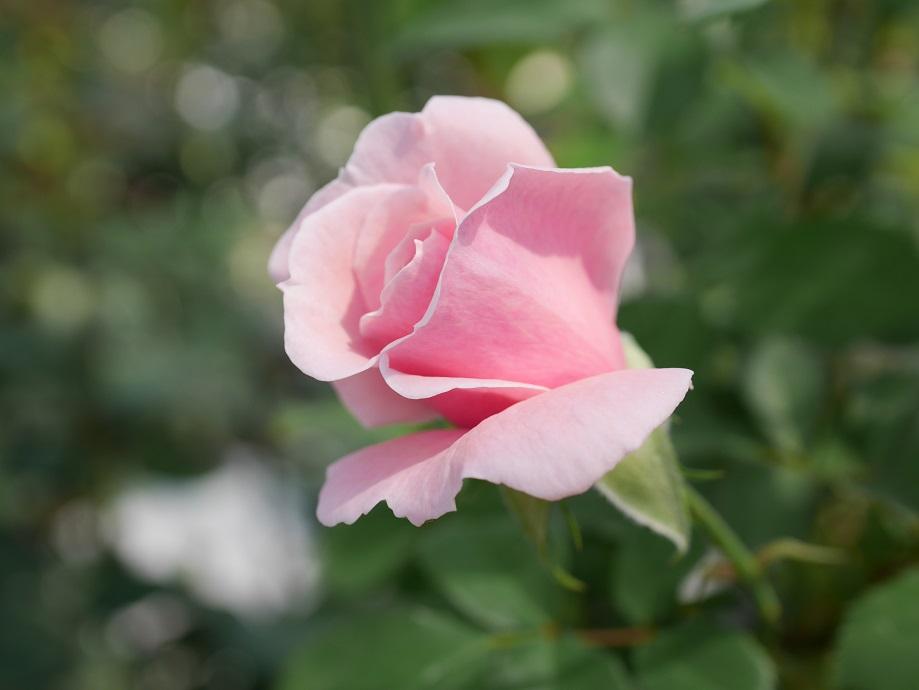 薄いピンク色の丸弁カップ咲きのバラ「コンパッショネイト」の花姿。