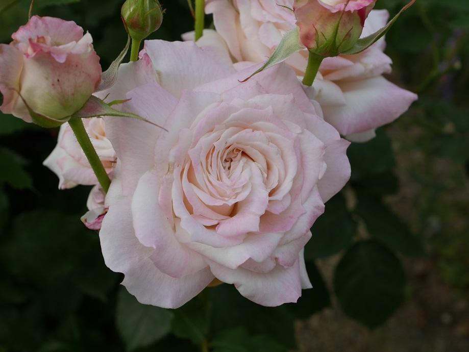 クリーム色のところどころに薄いピンク色が混じるバラ「サンクチュアリ」の花姿。
