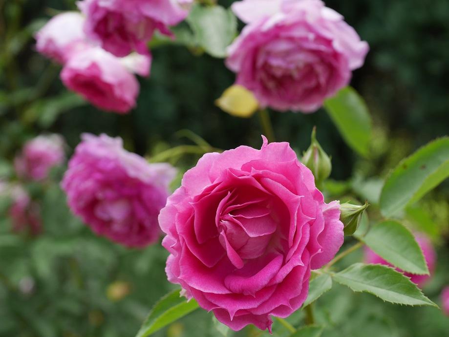 薄いピンクの下地に紫が混じるピンクの波状弁のバラ「シェラザード」の花姿。