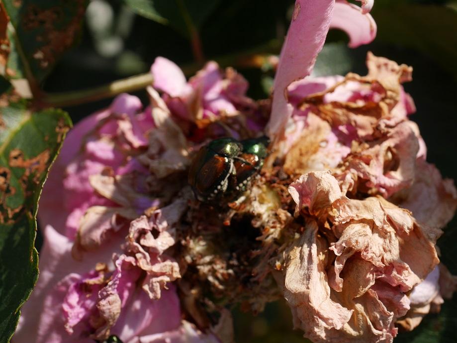 バラ「イヴ・ピアッツェ」の花を食害する2匹の「コガネムシ」の様子。