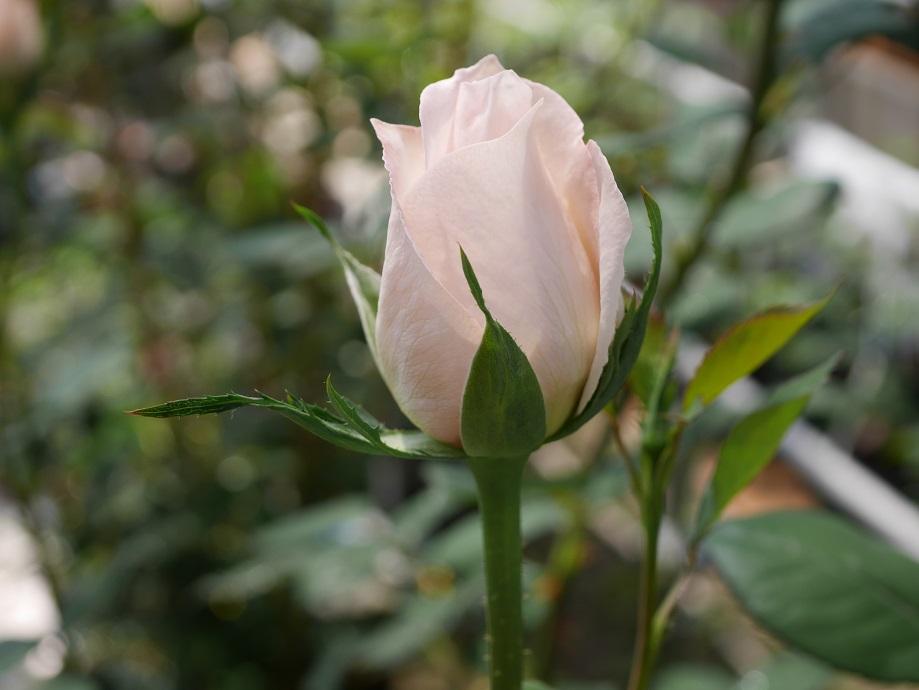 バラ「サマー・レディ」のほころびはじめの花姿。