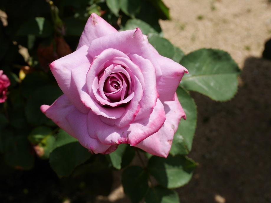 ラベンダー色の剣弁高芯咲きのバラ「グラン・ブルー」の花姿。