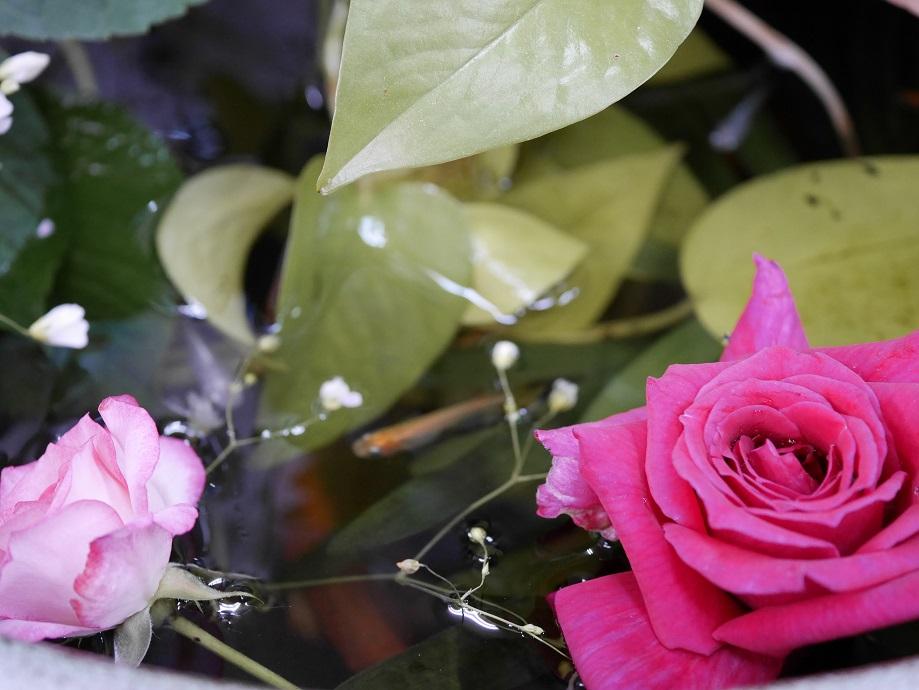 水に浮かせたピンクのバラが2輪写っている。涼しそうに見える。