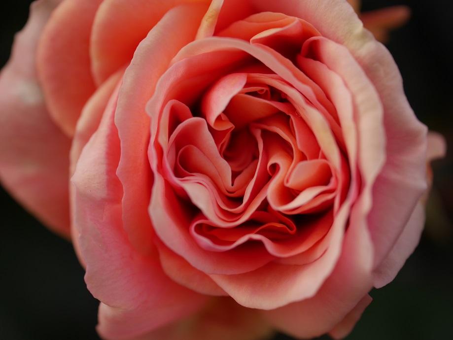 開花したバラ「アシュラム」の花の中心部の「巻き」を拡大して撮影した写真。[撮影者:ローズフェスタ]