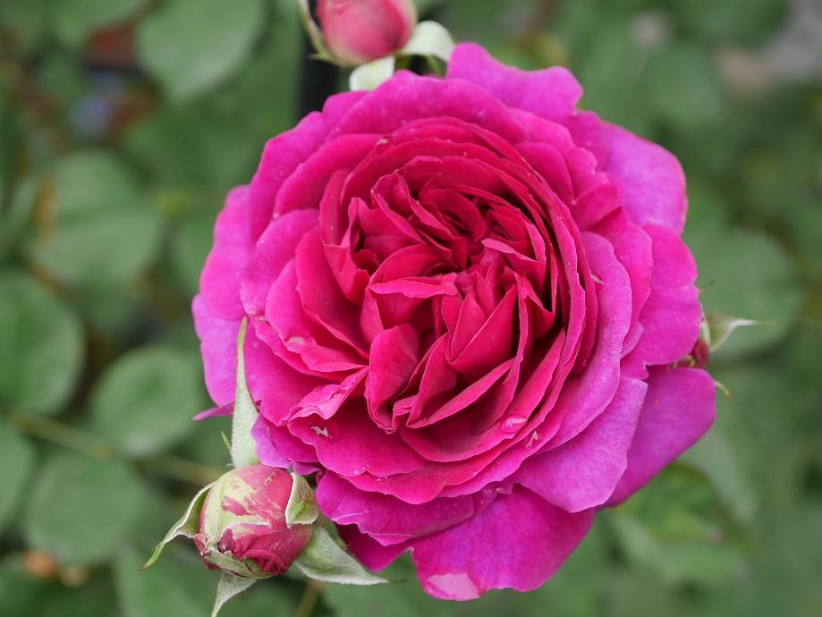 開花したイングリッシュローズ「ムンステッド・ウッド」の花姿。[撮影者:花田昇崇]