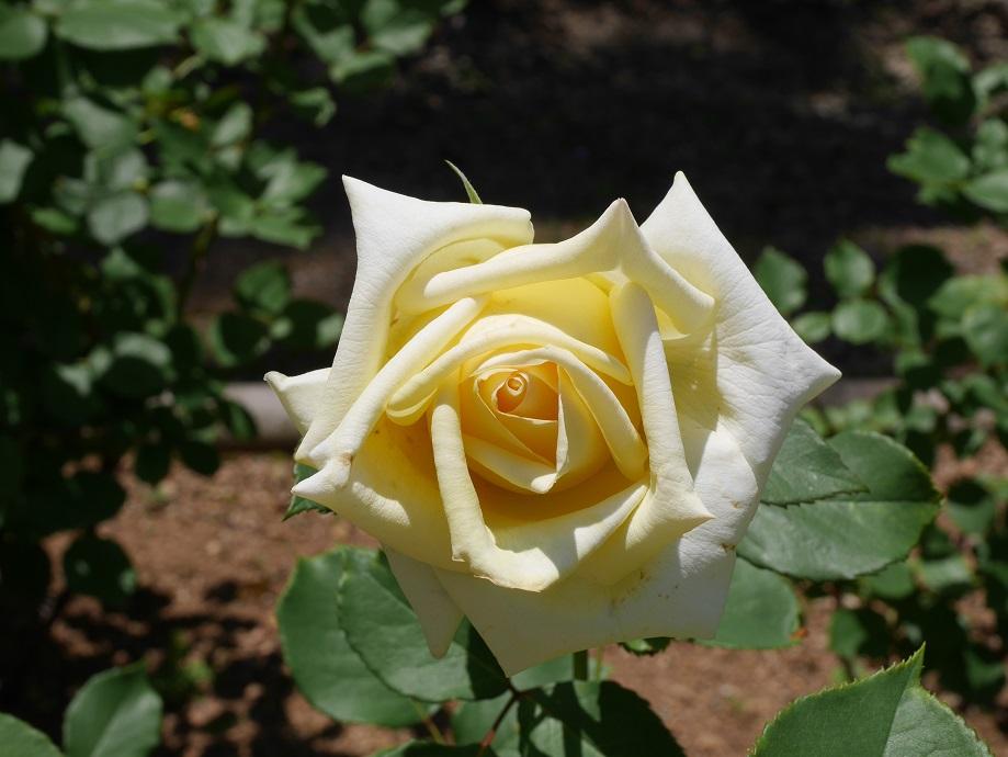 優しいクリームイエローのバラ「エリナ」の花姿。