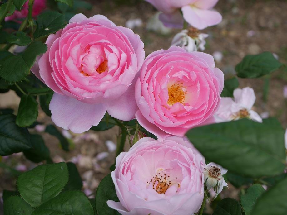 ピンク色のカップ咲きのバラ「セプタード・アイル」の花姿。3輪が開花している。