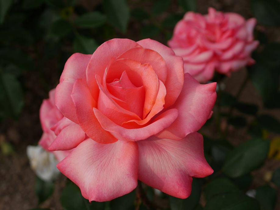 ローズピンクの半剣弁高芯咲きのバラ「ニュー・カリナ」の花姿。[撮影者:ローズフェスタ]