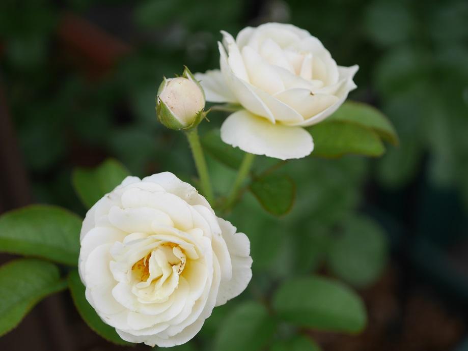 軽くクリーム色が入るカップ咲きの白バラ「アルテミス」の花姿。
