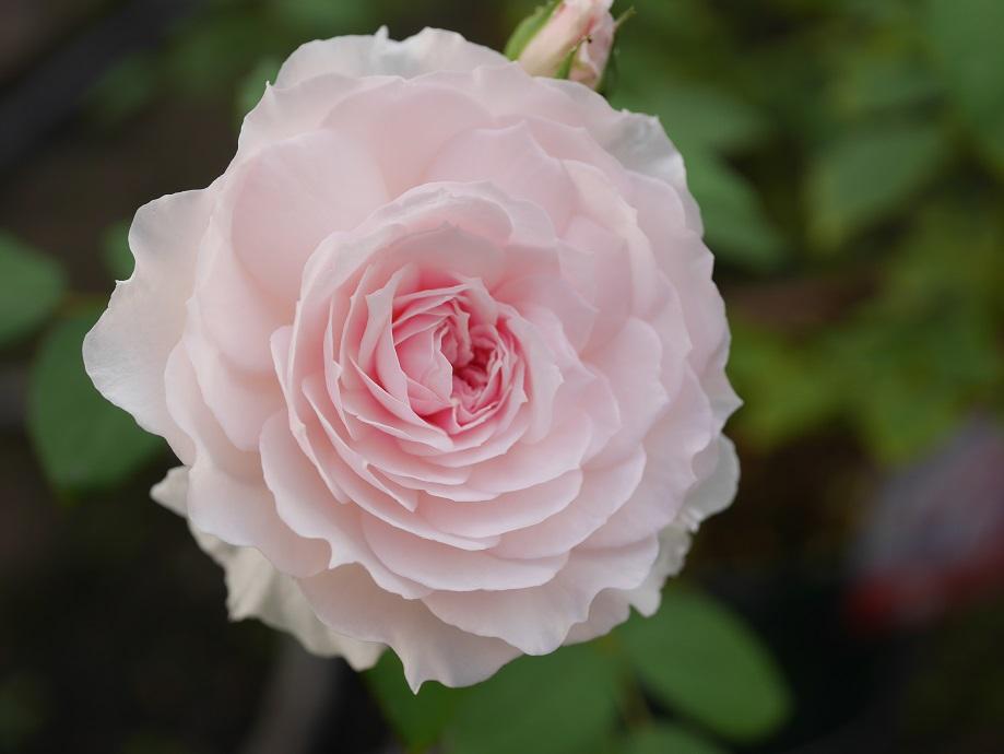 淡い桃色のカップ咲きのバラ「みさき」の花姿。美しい写真。[撮影者:花田昇崇]