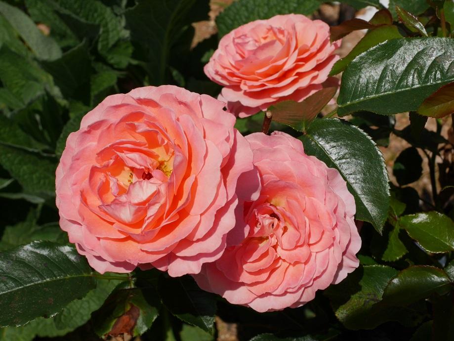 コーラルピンク色のロゼット咲きのバラ「ピンク・アバンダンス」の花姿。