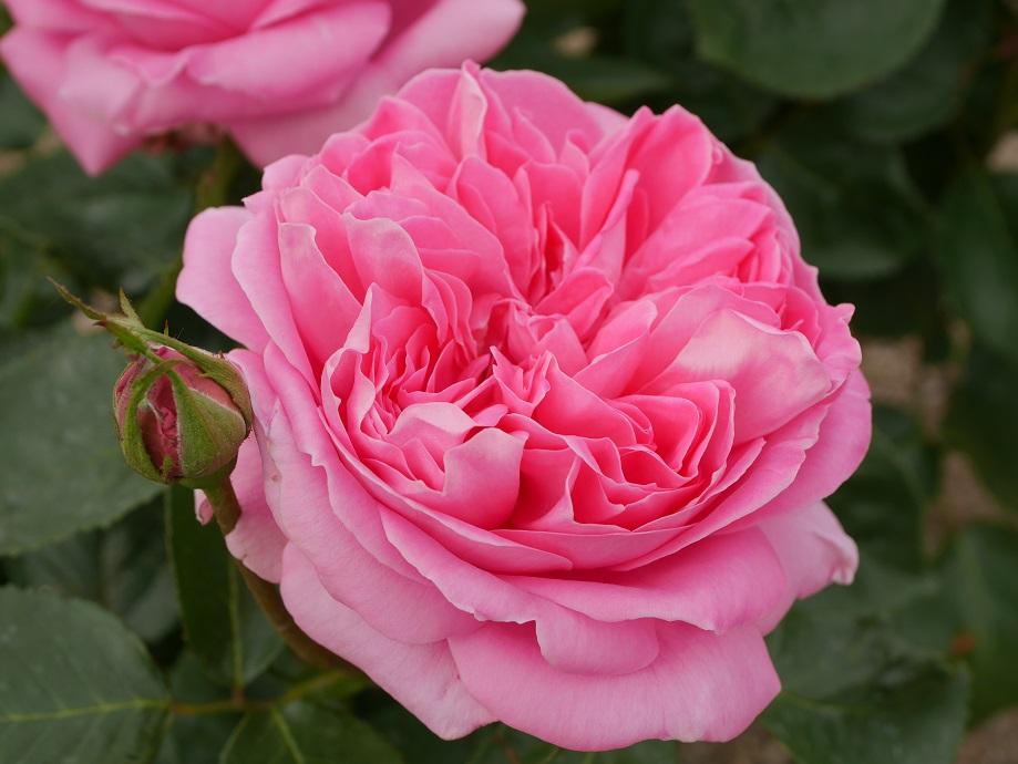 大輪系のピンクのカップ咲きのバラ「ホーム・スィート・ホーム」の花姿。[撮影者:ローズフェスタ]