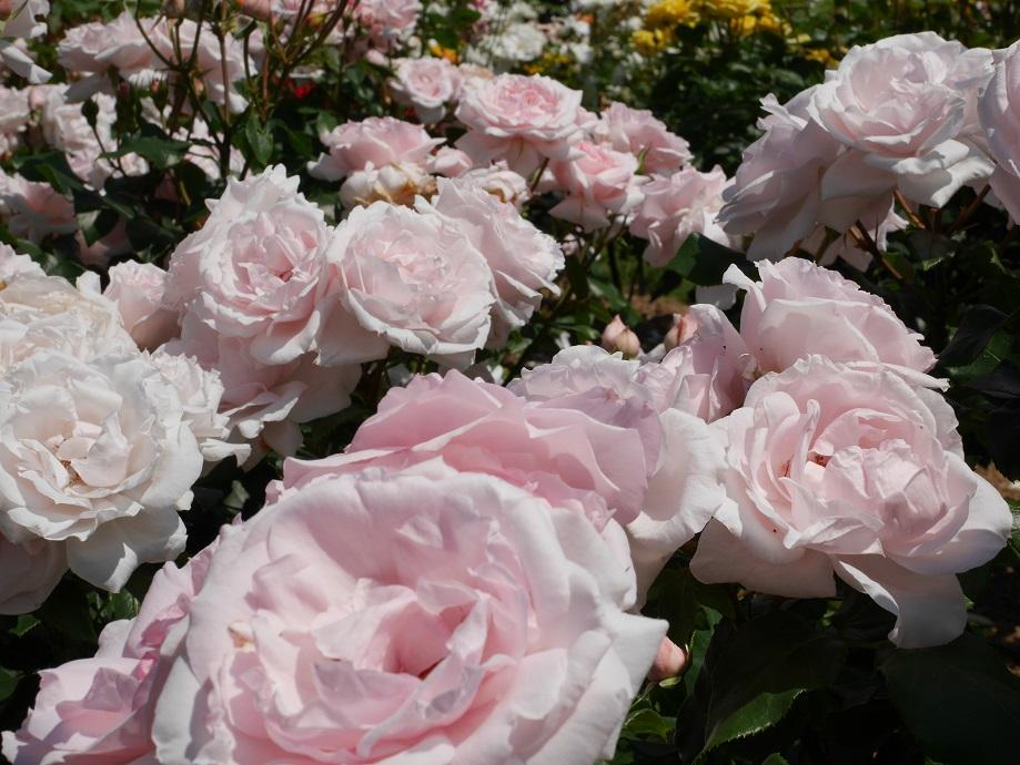 ペールピンク色のロゼット咲きのバラ「プチ・トリアノン」の花姿。画面いっぱいに咲きほこる美麗写真。[撮影者:花田昇崇]