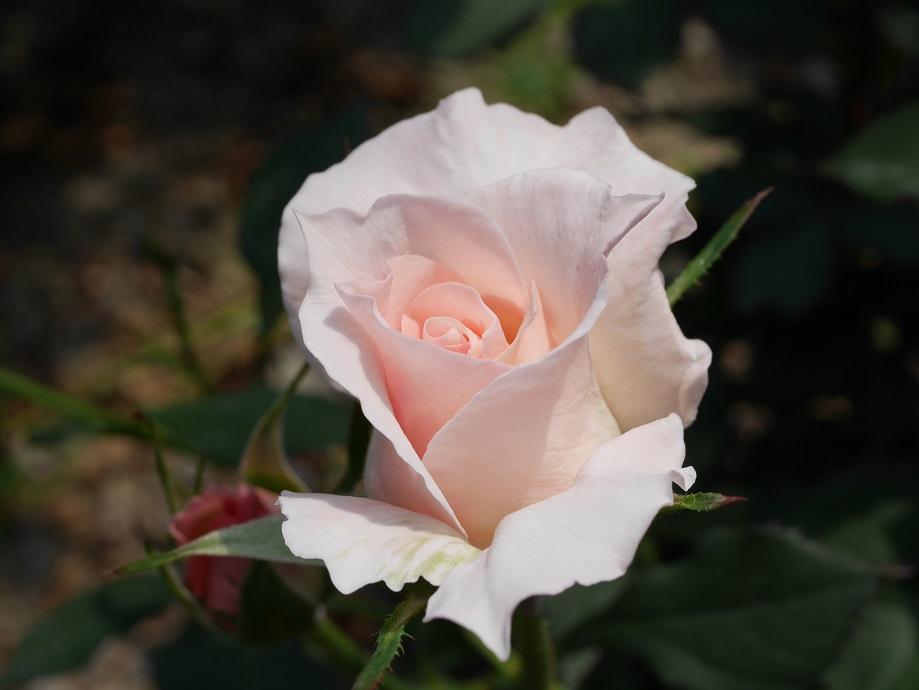 開花につれて薄いピンク色が徐々に濃くなる半剣弁高芯咲きのバラ「ブライダル・ピンク」の花姿。