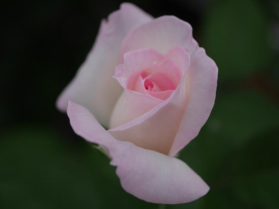 白地にピンクの覆輪の半剣弁高芯咲きのバラ「プリンセス・ドゥ・モナコ」の花姿。
