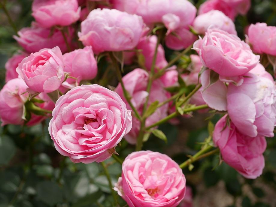 ディープピンクのカップ咲きのバラ「ポンポネッラ」の花姿。
