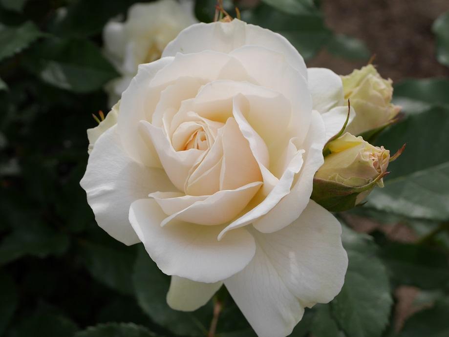 アイボリーホワイトの花色と可愛くおしとやかな女性を思わせるバラ「エーデル・ワイス」の花姿。[撮影者:ローズフェスタ]