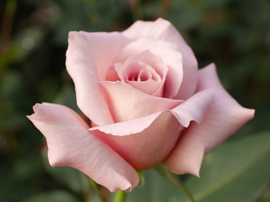 ジュリアの花姿を拡大した写真