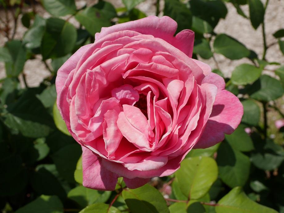 赤紫が混じるピンクのロゼット咲きのバラ「アライヴ」の花姿。