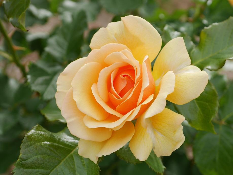 琥珀色を帯びるオレンジ色の丸弁平咲きのバラ「アンバー・クイーン」の花姿。